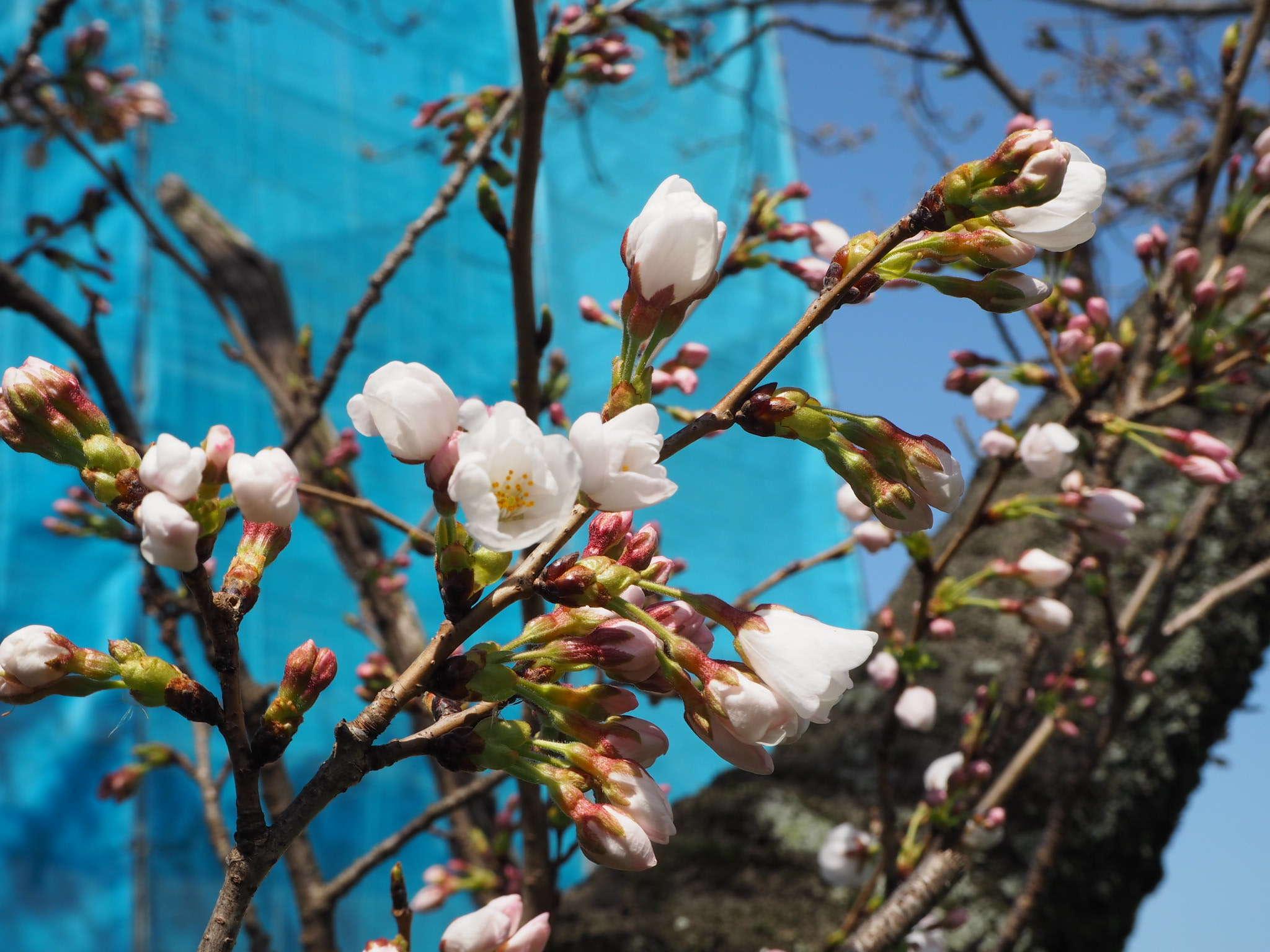 image お花見の季節になりましたね